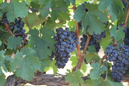 Hanging tough: Local wine cultivars adapt to climate change